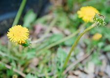 Yellow dandelions growing on grass in spring, warm sunny weather.  stock photo