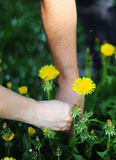 Yellow dandelions in hand. The person collects yellow dandelions Royalty Free Stock Images