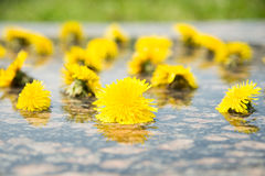 Free Yellow Dandelions In Water On Stone Royalty Free Stock Images - 58311089
