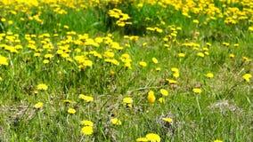 Yellow dandelions and lake tilt up stock video