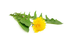 Yellow dandelions with leaves. Royalty Free Stock Image