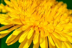 Yellow dandelions macro Stock Photos