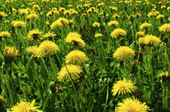 Yellow dandelions Stock Images