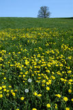 Yellow dandelions in meadow. A vertical perspective of a green field with yellow flowers Stock Image