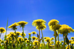 Yellow dandelions in the meadow clear solar summer Royalty Free Stock Photography