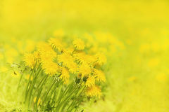 Yellow dandelions in the meadow Royalty Free Stock Photo