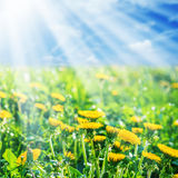 Yellow dandelions on meadow Royalty Free Stock Images