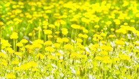 Yellow dandelions Stock Photos