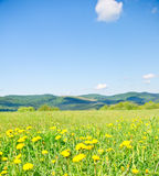 Yellow dandelions in the mountains. In the spring stock photography