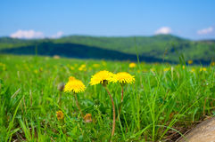 Yellow dandelions in the mountains in the spring Royalty Free Stock Photo