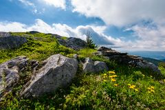 Yellow dandelions in mountains. Little flowers grow in severe environment. tough life concept. beautiful summer landscape on a cloudy day Stock Photography