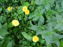 Yellow dandelions in the nettle. Yellow dandelions in flowering nettles Royalty Free Stock Photo