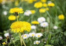 Yellow dandelions and ox-eye daisies in the meadow Royalty Free Stock Photography