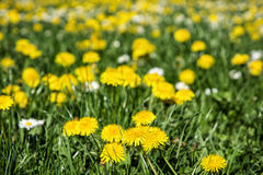Yellow dandelions and ox-eye daisies in the meadow, seasonal nat Stock Photos