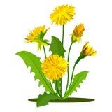 Yellow dandelions set isolated on white. Vector Stock Photo