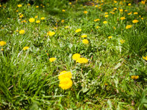 Yellow dandelions in a spring garden Royalty Free Stock Photography