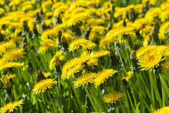 Yellow dandelions in spring Stock Photography