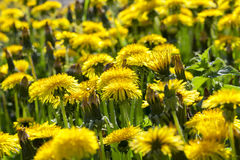 Yellow dandelions in spring Royalty Free Stock Photography