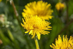 Yellow dandelions in spring Royalty Free Stock Images