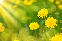 Yellow dandelions on sun light Stock Image