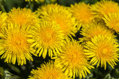 Yellow dandelions Royalty Free Stock Images