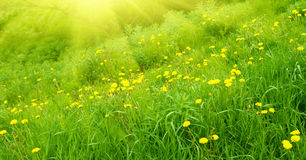 Yellow dandelions and sunlight Royalty Free Stock Image