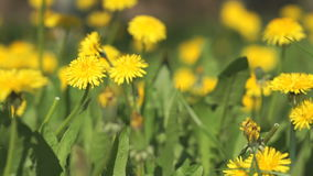 Yellow dandelions on a sunny spring day. Close-up stock video footage