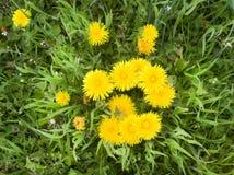 Yellow dandelions Royalty Free Stock Photos