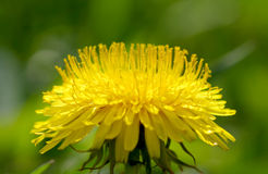 Yellow dandelions in the wind Royalty Free Stock Photography
