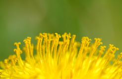 Yellow dandelions in the wind Royalty Free Stock Photo