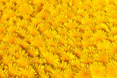 Yellow dandylion flowers Stock Photos