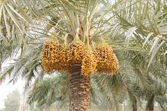 Yellow and dark brown ripen dates along the tree Royalty Free Stock Photos