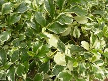 Yellow and dark green color leaves of variegated Euonymus plants royalty free stock photo