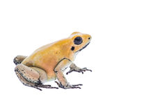 Yellow dart poison frog Royalty Free Stock Photo