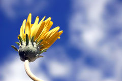 Yellow Dasiy Series. Yellow daisy from low angle Stock Photos