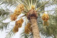 Yellow dates bunches in a date palm tree Stock Photos