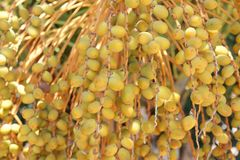 Yellow dates on the date palm tree, agriculture Royalty Free Stock Images