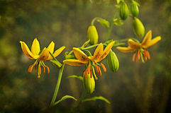 Yellow Day Lilies Stock Photo