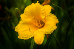 Yellow Day Lilly Royalty Free Stock Photo