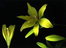 Yellow Day Lily stock images