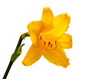 Yellow day lily. Royalty Free Stock Photography