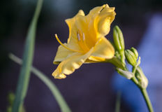 Yellow Day Lily flower bloom royalty free stock image