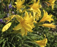 Yellow Day lily Royalty Free Stock Image