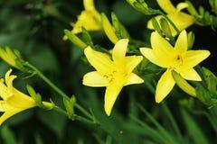 Yellow Day lily flower or Hemerocallis blooming Stock Image