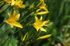 Yellow Day lily flower or Hemerocallis blooming Stock Photo