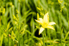 Yellow Day-lily Stock Image