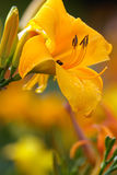 Yellow day lily after rain Royalty Free Stock Photos