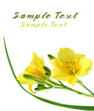 Yellow Daylilies Stock Photo