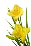Yellow Daylily. Bundle of yellow daylily flower isolated on white Royalty Free Stock Photo