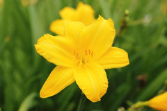 Yellow daylily flower. In the garden Royalty Free Stock Photos